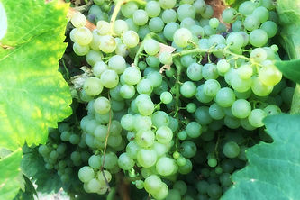 ugni blanc grape.jpg