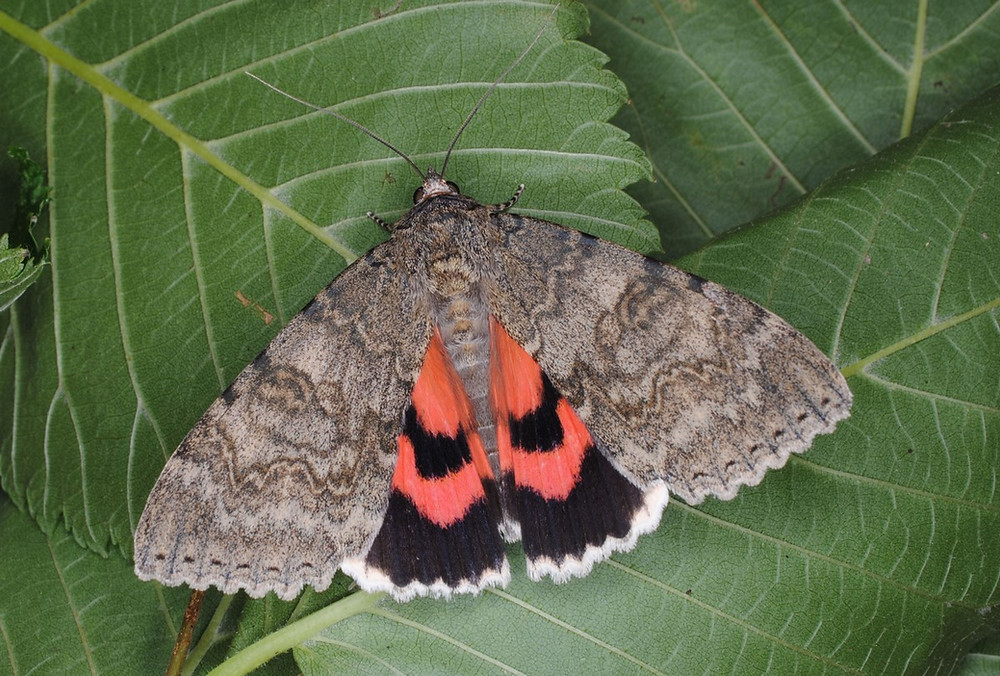Red Underwing (Catocala nupta) by Barry Dickerson (Moth Night)