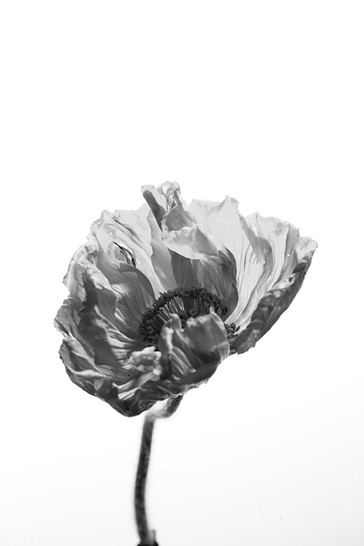 Poppies Series