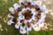 Fleur du Dharma 1 HRA.jpg