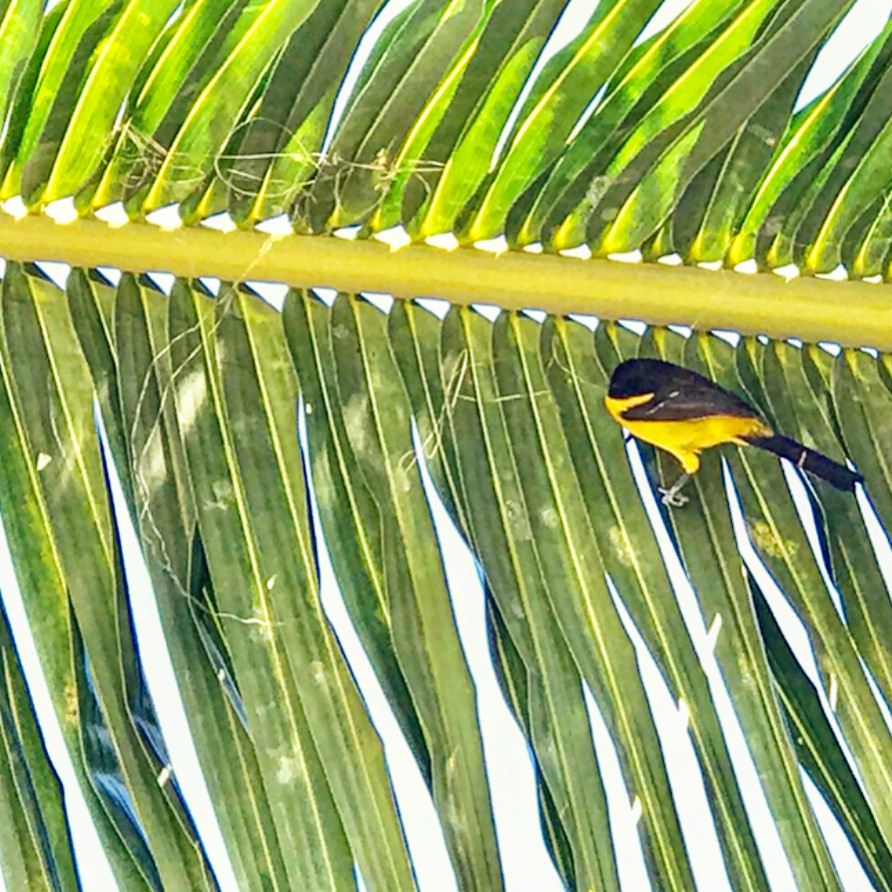 A black and yellow bird perched on a palm frond