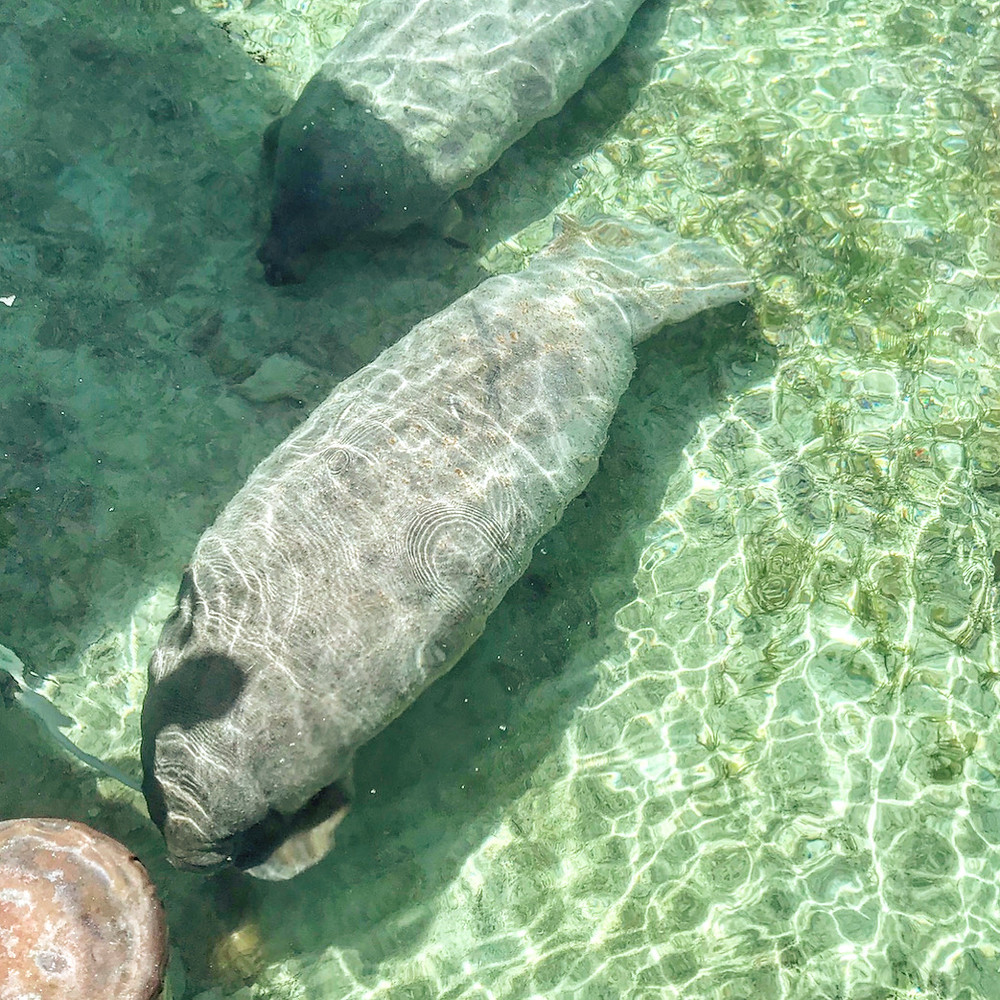 Two manatees seen through clear waters