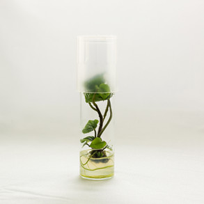 A sweetpotato plantlet develops in 5 to 7 months from a microshoot tip.in test tube.