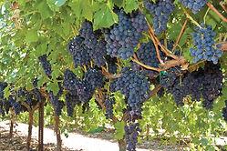 GrapeHarvest_1755-2.jpg
