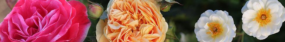 roseheader.jpg