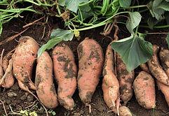 sweet-potatoes2.jpg