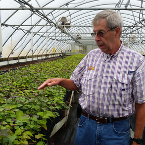 Inspecting clean sweetpotato propagations in the greenhouse at the LSU Sweetpotato Research Station.