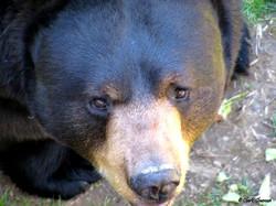Black Bear Salato