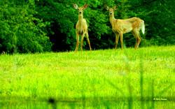 Shakertown Deer - Copy