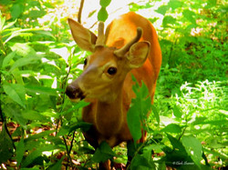 mammoth cave young buck