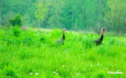 Wild Turkey, Jessamine County