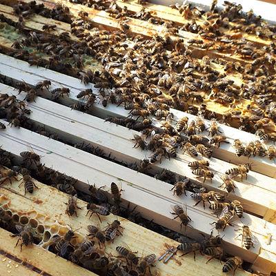 Bin på ramar i en bikupa