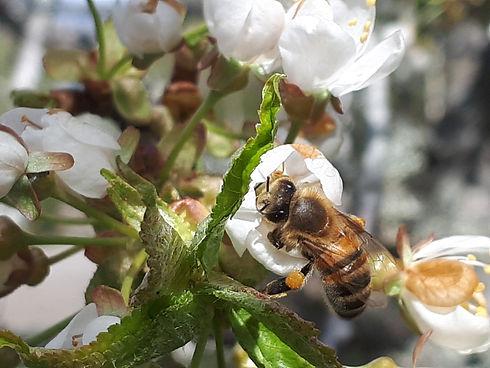Ett bi samlar pollen från en körsbärsblomma.