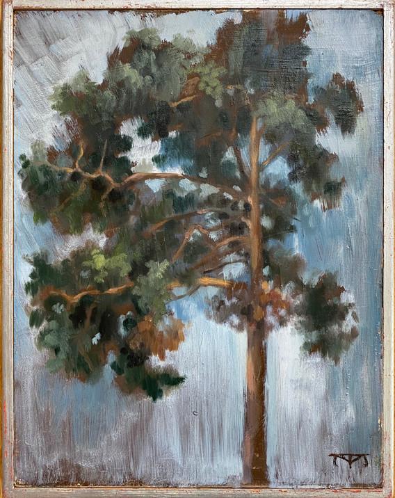 Swedish fir
