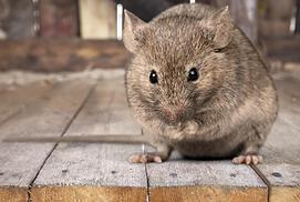 Rat in attic