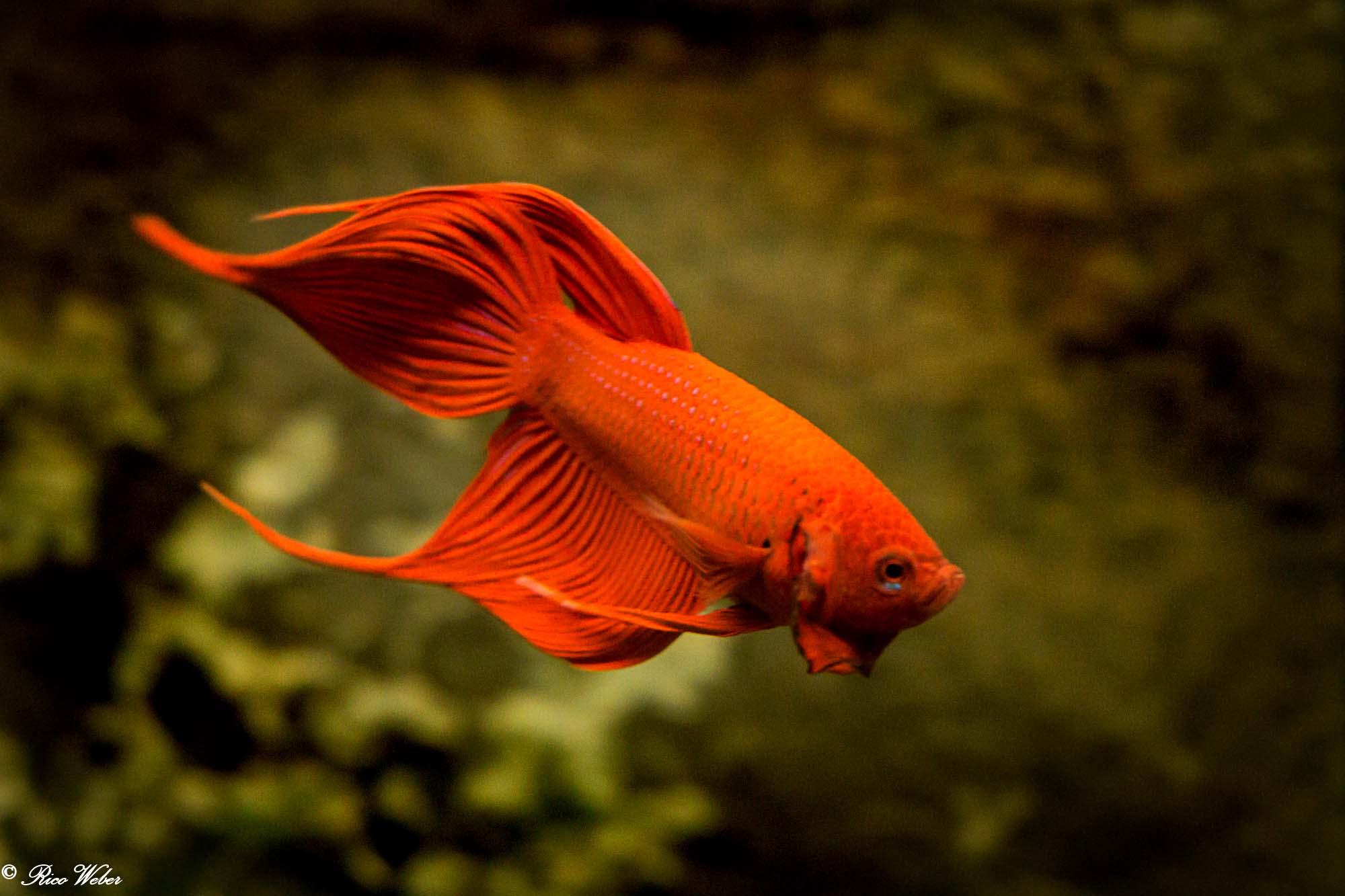 Betta Kampffisch