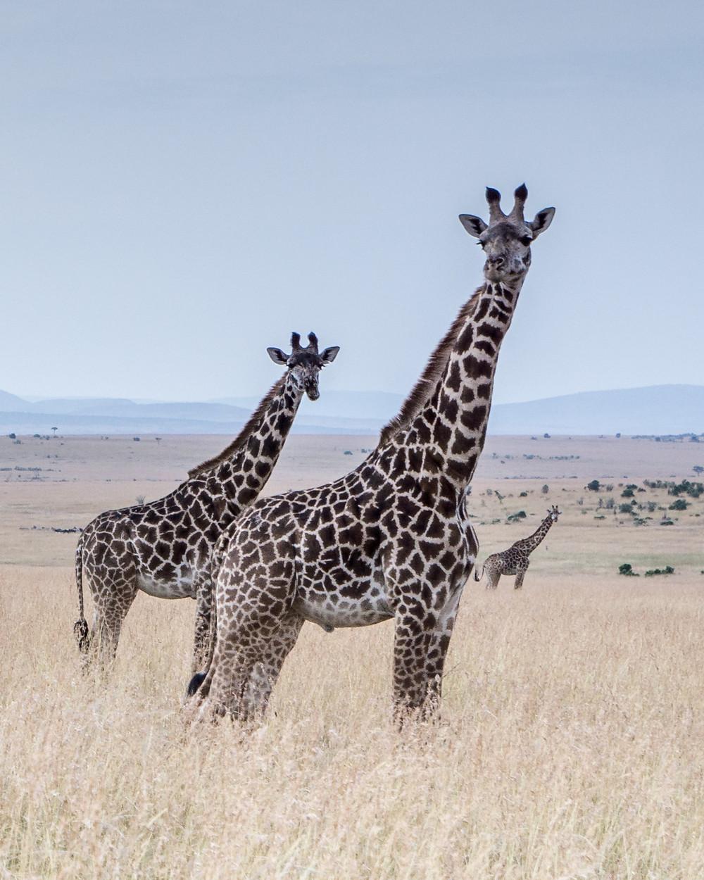 Giraffes in Kenya's Maasai Mara National Reserve