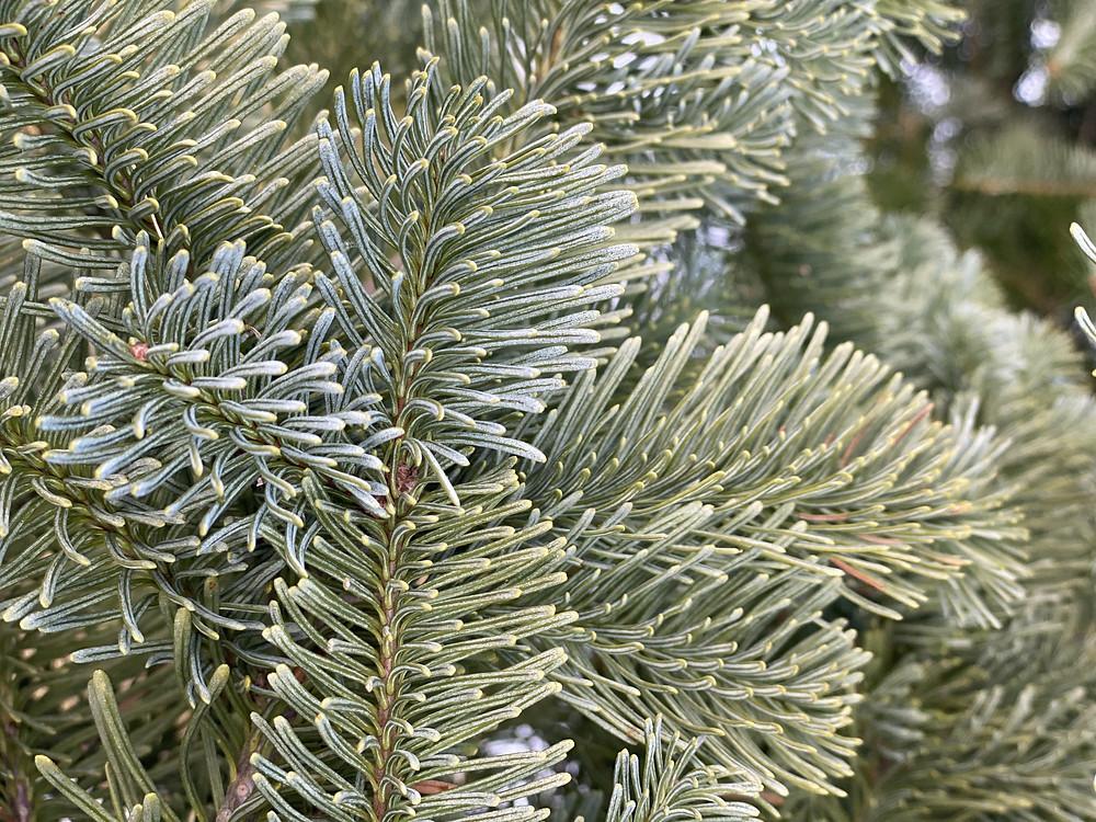 Bio Weihnachtsbaum - Weihnachten nachhaltig gestalten