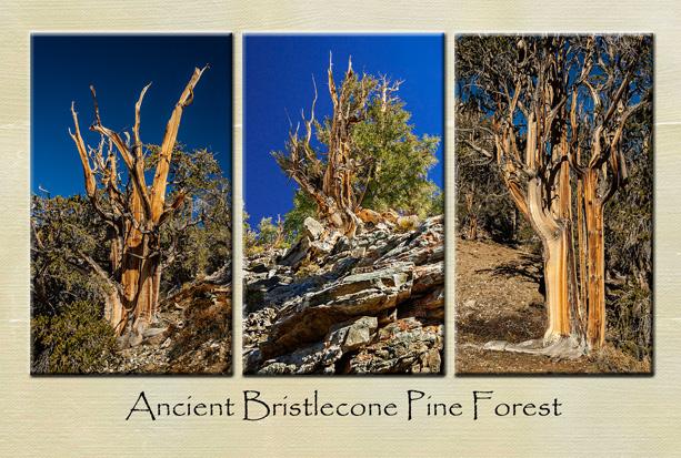 Bristlecone_Pine_ABC_3_image_PC_Front