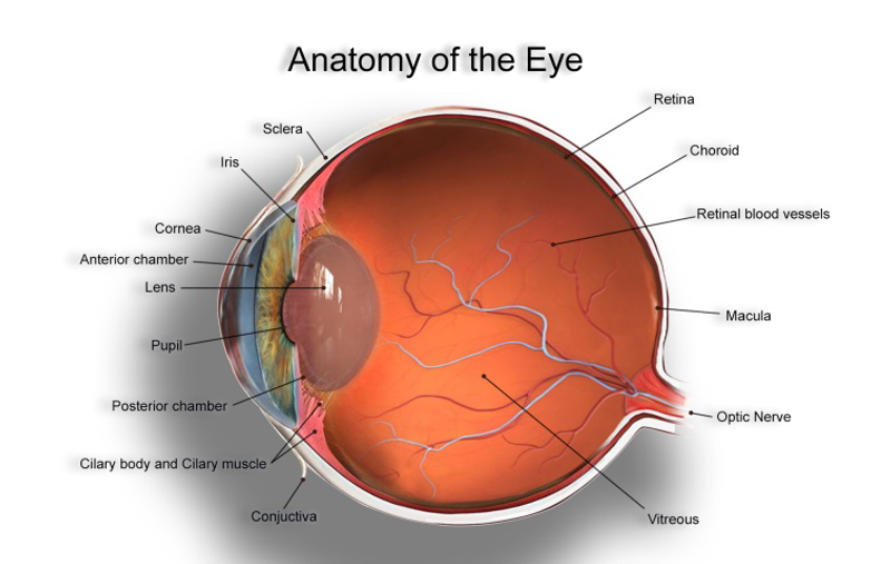anatomy of the eye.png