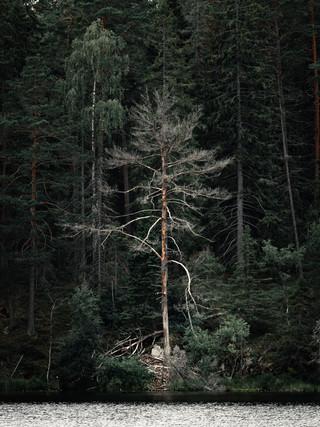 Lone tree in Sweeden