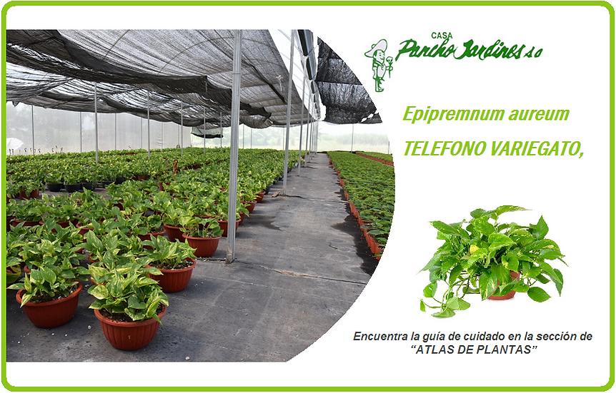 "PLANTA TELEFONO  VARIEGATO 8""  Epipremnum aureum"