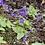 "Thumbnail: PLANTA CARNIVORA PINGUICOLA MORANENSIS NV EN MACETA DE 4"""