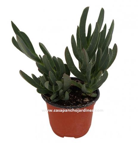 "PLANTA CRASULA DEDO MORO, MACETA  4"" Lampranthus spectabilis"