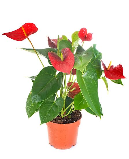 """PLANTA ANTURIO CHICO (Anthurium spp) EN MACETA DE 4"""""""