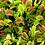 """Thumbnail: PLANTA CARNIVORA VENUS ATRAPAMOSCAS , Dionaea muscipula, plánta en pot de 4"""""""