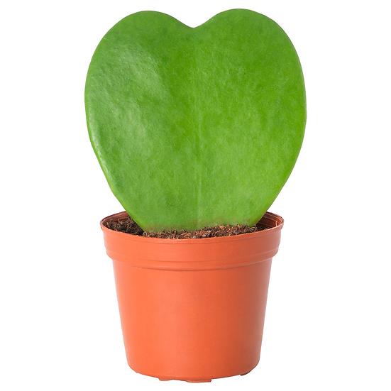 """PLANTA CACTUS CORAZON (Hoya kerrii) en maceta de 4"""""""