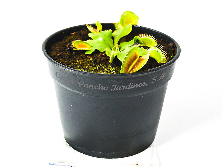 """PLANTA CARNIVORA VENUS ATRAPAMOSCAS , Dionaea muscipula, plánta en pot de 4"""""""