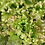Thumbnail: SEMILLA FINA DE LECHUGA ITALIANARUBY SKY SOBRE DE 8.0 GR