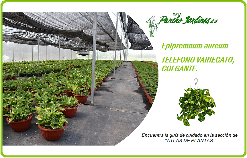 "PLANTA TELEFONO COLGANTE VARIEGATO 10""  Epipremnum aureum"