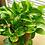 "Thumbnail: PLANTA ORNAMENTAL TELEFONO VARIEGADO 7"" epipremnum aureum"