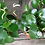 """Thumbnail: PLANTA ORNAMENTAL CORAZON DE MARIA 5"""" peperromia polybotria"""