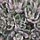 "Thumbnail: PLANTA CRASULA HECHEVERIA NODULOSA EN MACETA 4""  hecheveria nodulosa"