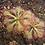 """Thumbnail: PLANTA CARNIVORA ROCÍO DE SOL, Drosera spatulata, planta en pot de 3"""""""