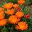 "Thumbnail: PLANTA CRASULA DEDO MORO, MACETA  4"" Lampranthus spectabilis"