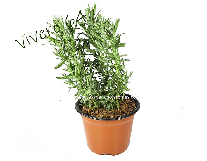 """PLANTA DE ROMERO ORGANICO (Rosmarinus officinalis) EN MACETA DE 5"""" CON MULCH"""