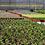 "Thumbnail: PLANTA CRASULA HOBBIT, MACETA 4"" Crassula ovata monstrosa"