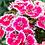 "Thumbnail: PLANTA ORNAMENTAL CLAVELINA EN MACETA 5"" dianthus chinensis"