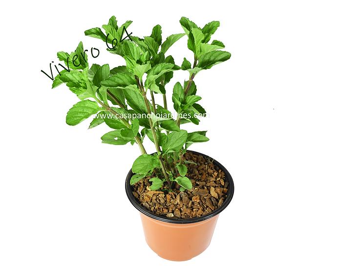 """PLANTA DE YERBABUENA ORGANICA (Mentha spicata) EN MACETYA DE 5"""" CON MULCH"""