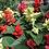 "Thumbnail: PLANTA ORNAMENTAL SALVIA ORNAMENTAL EN MACETA 5"" Salvia splendens"