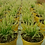"Thumbnail: PLANTA CARNIVORA ROCÍO DE SOL, Drosera capensis, planta en pot de 4"""