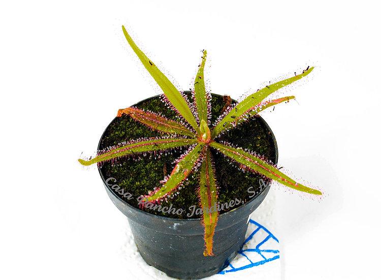 """PLANTA CARNIVORA ROCÍO DE SOL, Drosera adelae, planta en pot de 3"""""""