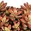 """Thumbnail: PLANTA GRAPTOSEDUM BRONZE EN MACETA DE 4"""""""