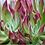 """Thumbnail: PLANTA CRASULA ECHEVERIA SET OLIVER EN MACETA DE 4""""  echeveria setosa"""