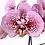 Thumbnail: PLANTA ORQUIDEA 2 VARAS (Phalaenopsis spp.) en maceta transparente plástica