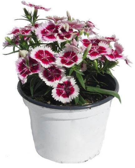 "PLANTA ORNAMENTAL CLAVELINA EN MACETA 5"" dianthus chinensis"